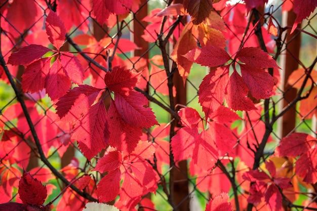 Grandi foglie autunnali rosse di uva selvatica sullo sfondo di un pergolato in rete metallica, illuminato dai raggi del sole al tramonto.