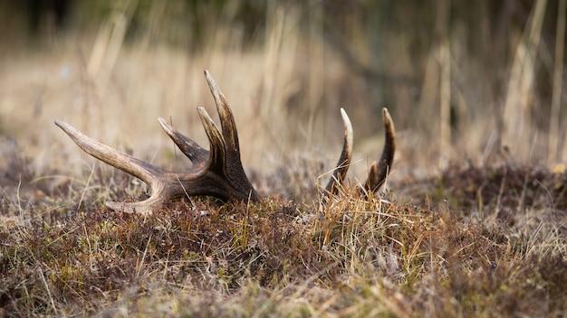 Grande capannone da cervo con punti bianchi adagiato a terra in montagna. enorme corno di cervo nascosto nell'erba secca su un prato in primavera la natura.