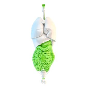 Intestino tenue e crasso isolato su bianco anatomia dell'apparato digerente umano