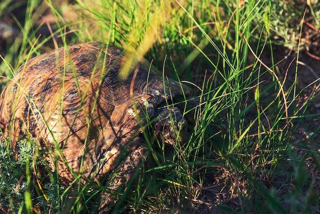 Grande tartaruga della steppa nell'erba