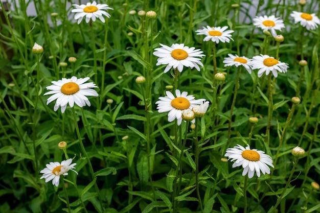 Grandi margherite bianche su un prato tra l'erba