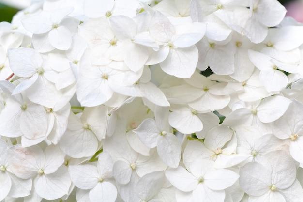 Grandi fiori di ortensie bianche (sfondo della natura). foto macro composita con notevole profondità di nitidezza.