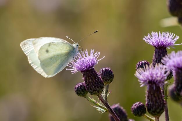 Large white (sarcococca brassicae) farfalla che si nutre di un fiore di cardo