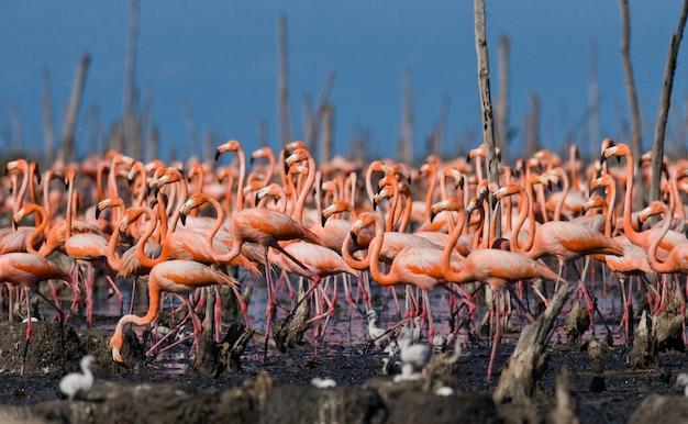 La più grande colonia di fenicotteri caraibici. riserva rio maximã â °.