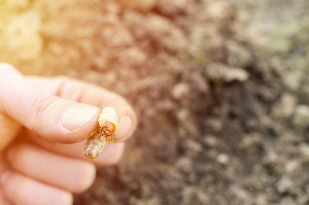 La larva del coleottero o insetto maggiolino in mano maschile in primavera in giardino. bagliore
