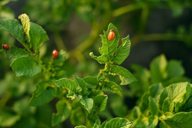 Le larve dello scarabeo della patata del colorado distruggono le foglie di patata
