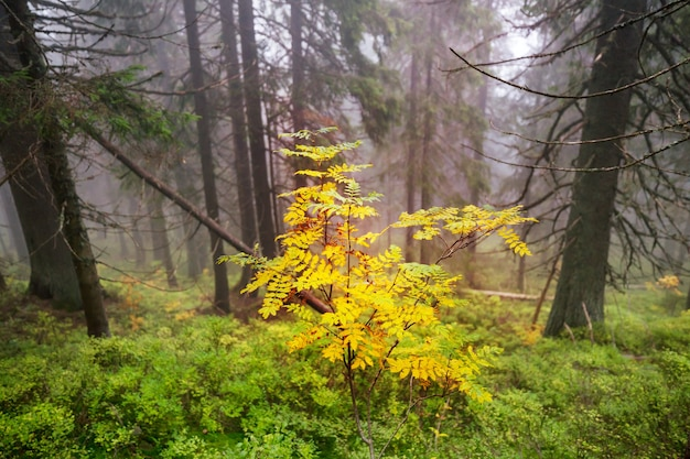 Paesaggi del tardo autunno. foresta nebbiosa è la mattina