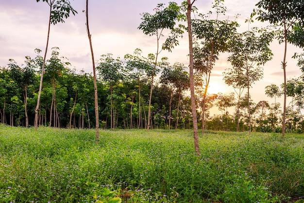 Piantagione di gomma di lattice o albero di gomma para o giardino di gomma con foglie ramo nel sud della thailandia