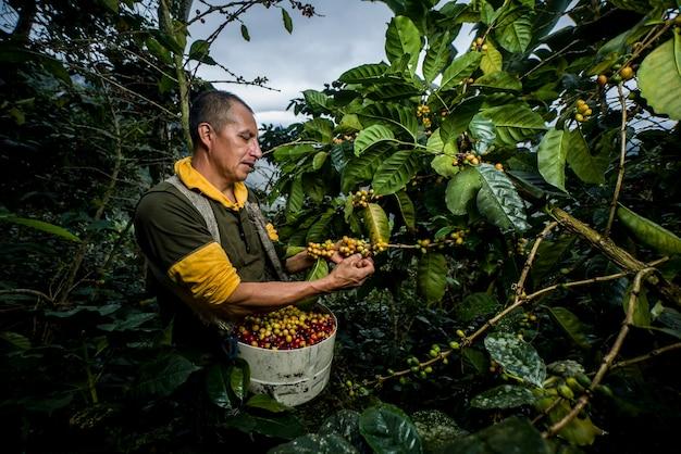Coltivatore di caffè latinoamericano che lavora nella raccolta con le sue piante e asciuga il caffè nella giungla