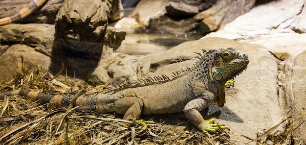 Nome latino: iguana iguana. dimensioni 150 cm in totale