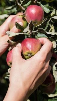 Donna latina che raccoglie mele selvatiche. foto verticale.