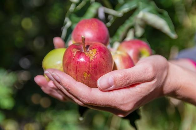 Donna latina che raccoglie mele selvatiche