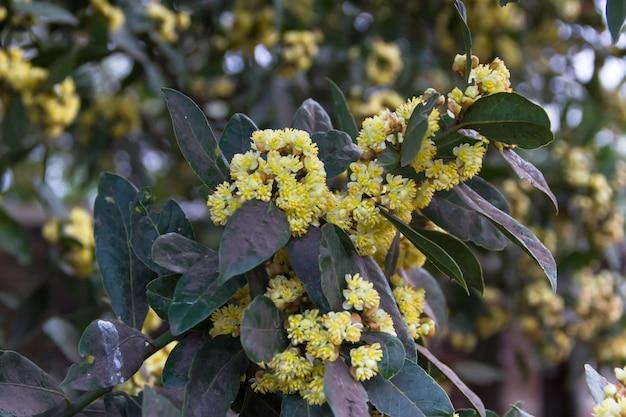L'alloro fiorì in primavera nel giardino biologico