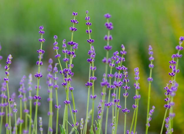 Primo piano della viola di angustifolia della lavandula