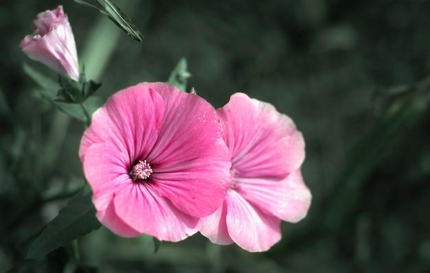 I fiori di lavatera sono piante da fiore della famiglia delle malvaceae.