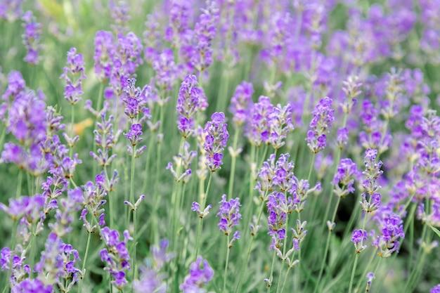 Fondo del giacimento di fiori dei cespugli di lavanda. raccolta di fiori di lavanda nei campi di lavanda nella regione francese della provenza. lavanda viola del fiore primo piano fuoco selettivo.