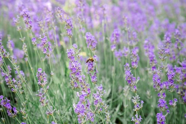 Fondo del giacimento di fiori dei cespugli di lavanda. raccolta di fiori di lavanda nei campi di lavanda nella regione francese della provenza. lavanda di fiori viola con un'ape. messa a fuoco selettiva del primo piano.