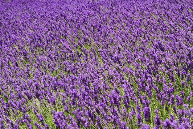Campi profumati di fiori di lavanda