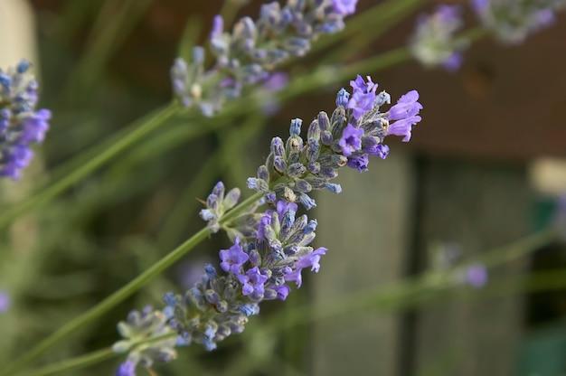 Fiore di lavanda in un fantastico dettaglio con ripresa macro, dove puoi vedere tutti i più piccoli dettagli di questo fiore profumato.