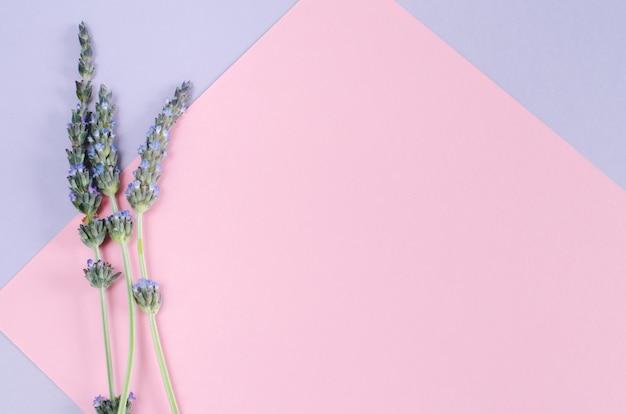 Fiori di lavanda su sfondo rosa e viola