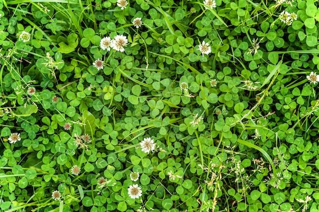 Tappeto da prato con trifoglio bianco ed erba verde