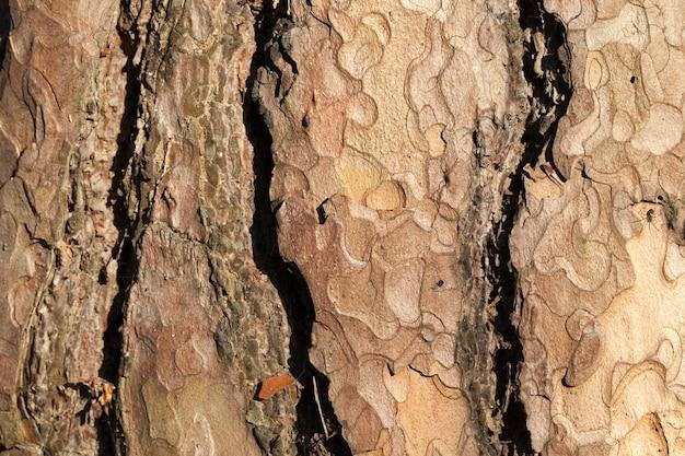 Strati di corteccia di albero di pino, primo piano della foto, dettagli visibili di protezione delle piante