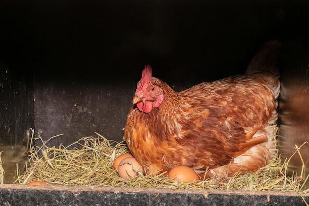 Gallina ovaiola in una cassetta nido con paglia