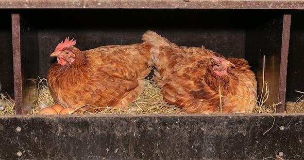 Galline ovaiole in una cassetta nido con paglia