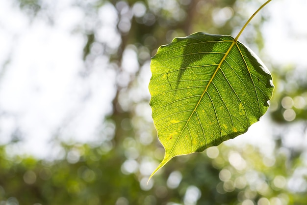 Foglia dell'albero di bodhi. sfondo della natura