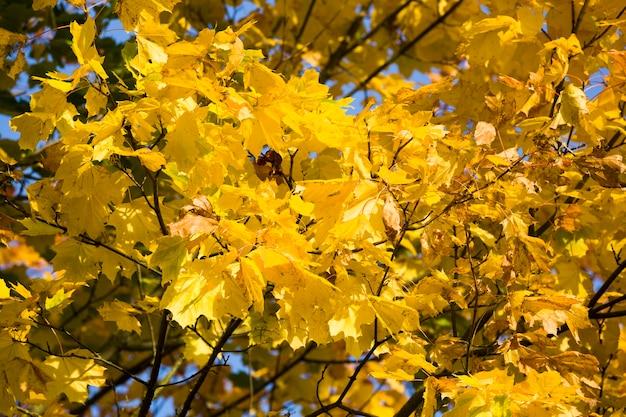 Caduta delle foglie nella foresta, parte del fogliame appeso agli alberi all'inizio della stagione autunnale, dettagli degli alberi nella foresta