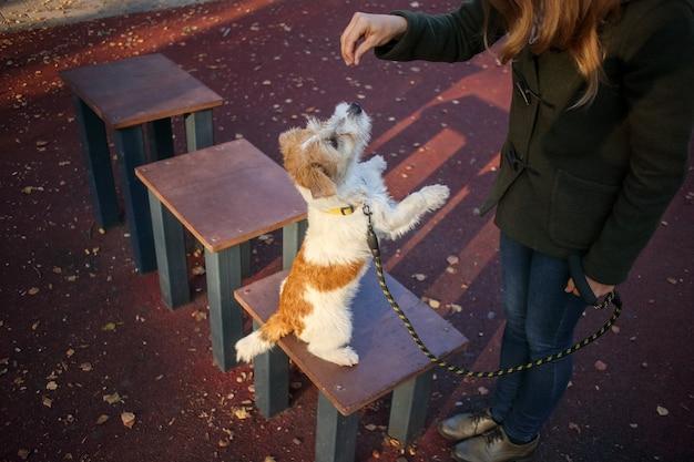 Lezione di apprendimento. jack russell terrier cucciolo sta di fronte a una ragazza