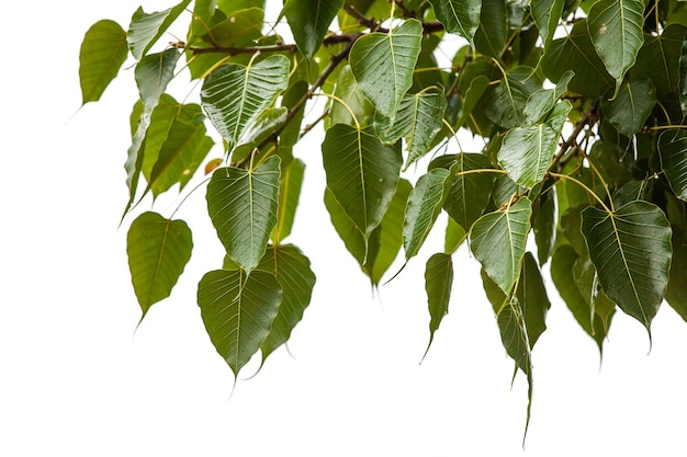 Lascia l'albero della bodhi in una giornata piovosa. Foto Premium