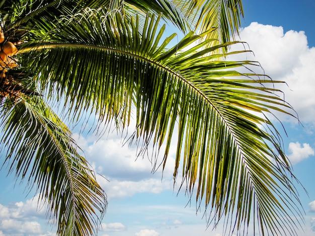 Foglie di un albero di cocco contro il cielo. spiaggia caraibica. isola delle palme. spiaggia, cielo, tropici. riposo estivo.