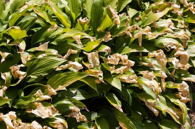 Le foglie si sono seccate per il calore sui fiori