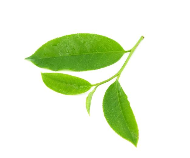 Foglie tè verde fresco con gocce d'acqua isolati su sfondo bianco.