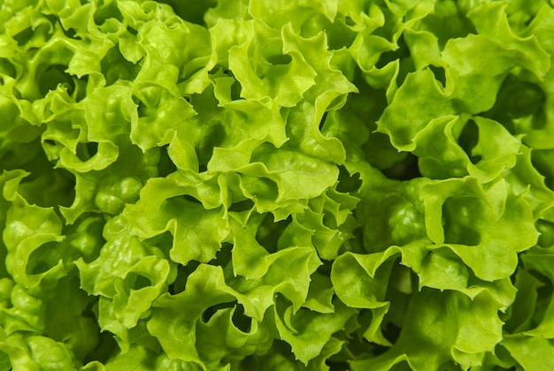 Foglie di insalata di lattuga