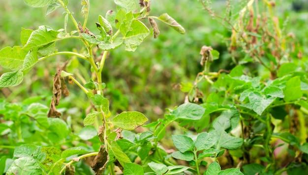 Foglie di patate con malattie. pianta di phytophthora colpito dalla patata