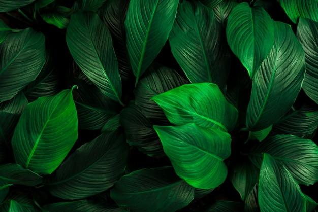 Foglie di spathiphyllum cannifolium astratto verde scuro trama natura sfondo foglia tropicale