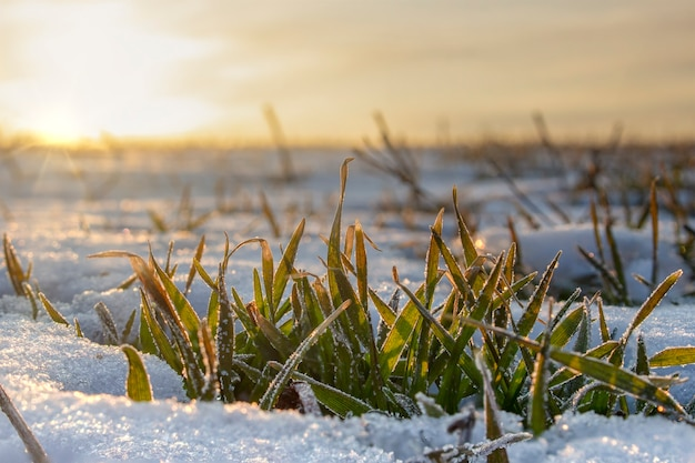 Le foglie del grano invernale si affacciano da sotto la neve, il sole mattutino riscalda le foglie che si sono congelate nel gelo mattutino.