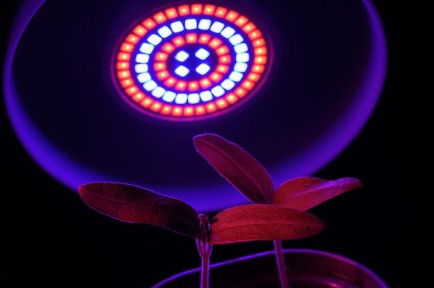 Lampada a led per la coltivazione di piante per l'agricoltura, phytolamps. piante domestiche accese sotto la lampada fito.