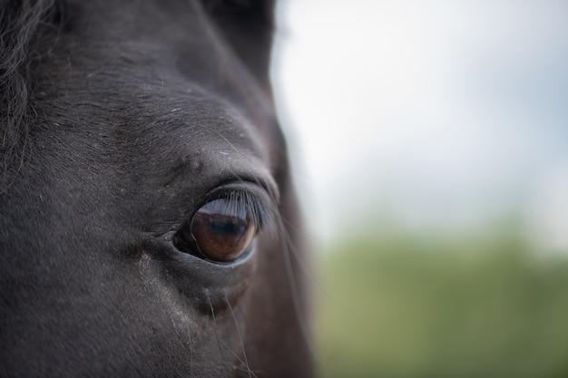 Occhio marrone sinistro con ciglia e capelli corti intorno a cavalla nera o cavallo da corsa in ambiente naturale