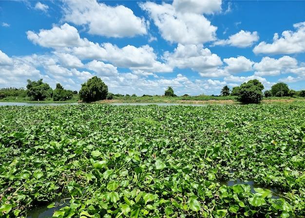 Una legione di giacinti d'acqua travolge l'intera area del fiume è un sintomo di inquinamento dell'acqua