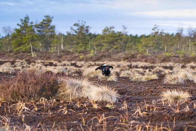 Lekking gallo forcello nella palude mattutina colori primaverili delle brughiere con fagiano di monte gallo forcello fagiano di monte lek bog