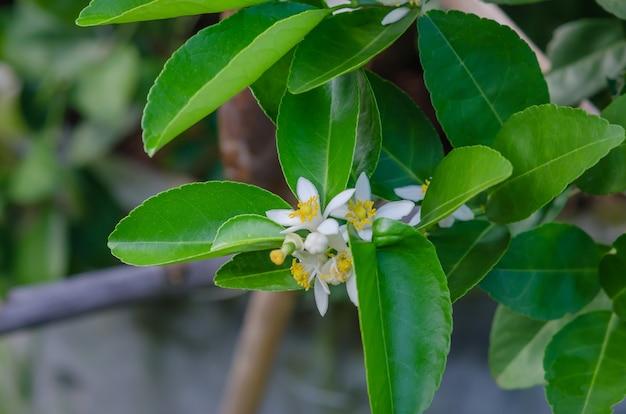Fiore di limone sull'albero