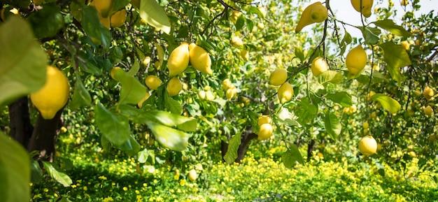 Giardino di limoni, sfondo estivo