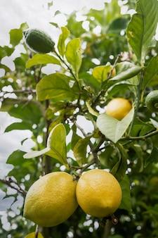 Albero di limone con limoni gialli