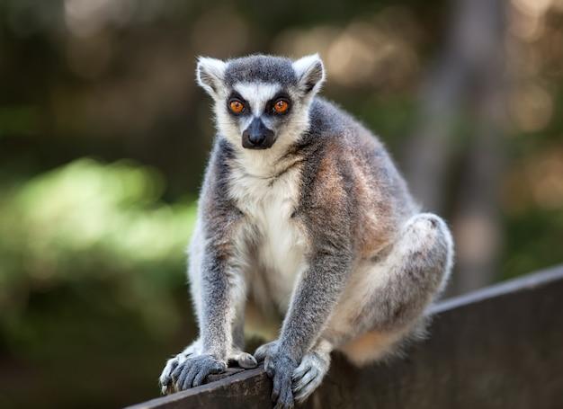 Catta di lemure