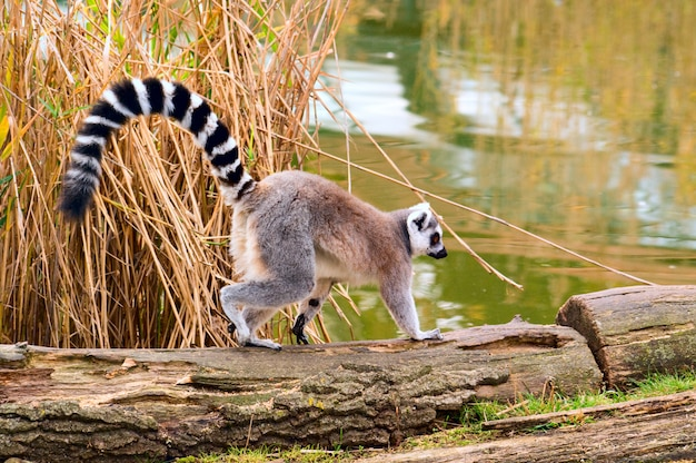 Lemure che corrono in natura