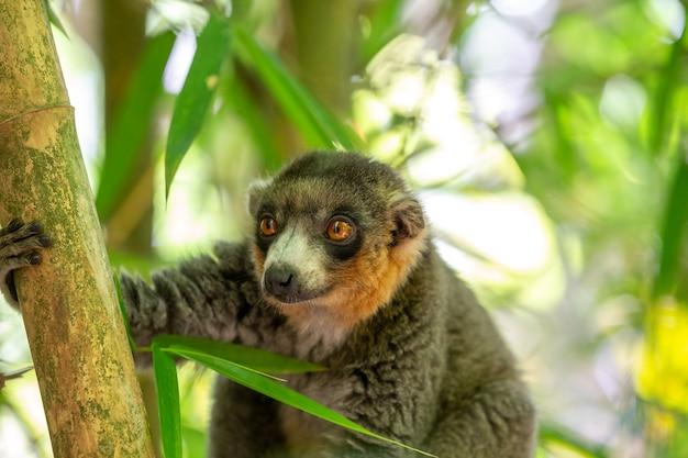 Un lemure si siede su un ramo e osserva i visitatori del parco nazionale.
