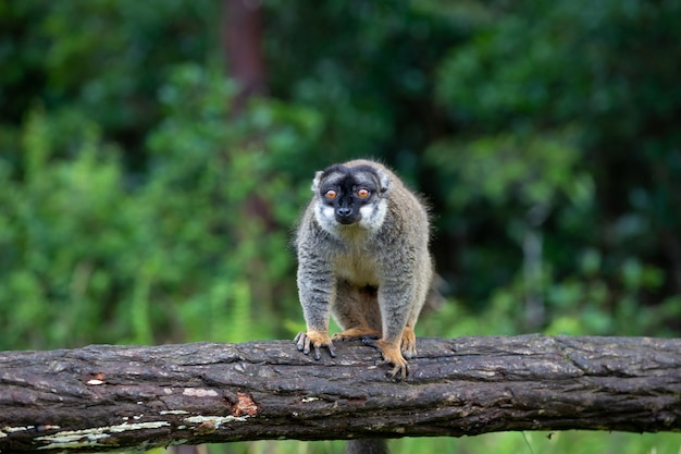 Lemuri su un registro che pende sull'acqua
